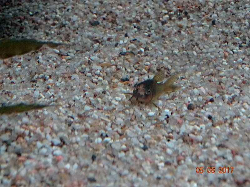 Corydoras Malade - Page 2 215100coryblesse
