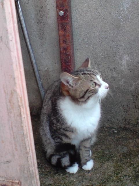 MIKA (chaton tigré et blanc) 215337B