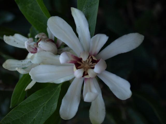 Calycanthus floridus - arbre aux anémones 218026P8302492