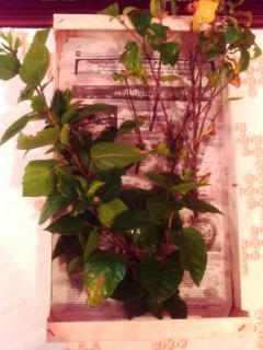 Mes hibiscus et moi...une longue histoire - Page 2 2404801JPG