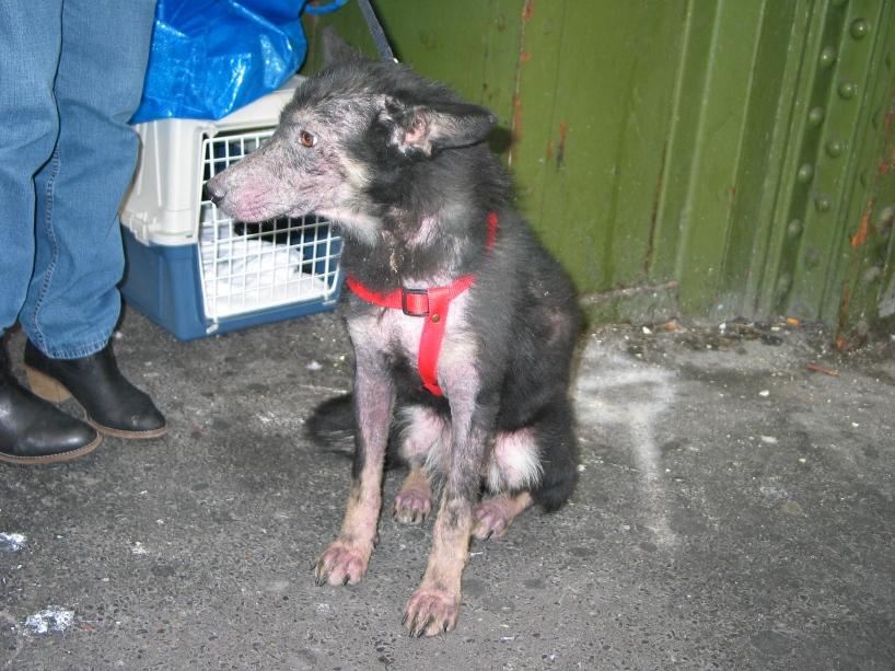 > Mika, un amour de petite chienne, née en mai 2011 - Adoptée 241013708
