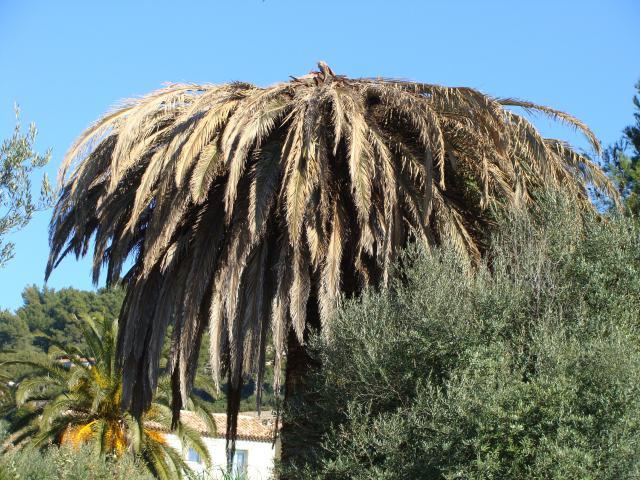 palmier, après le desespoir, un petit espoir.... 242712palmier005
