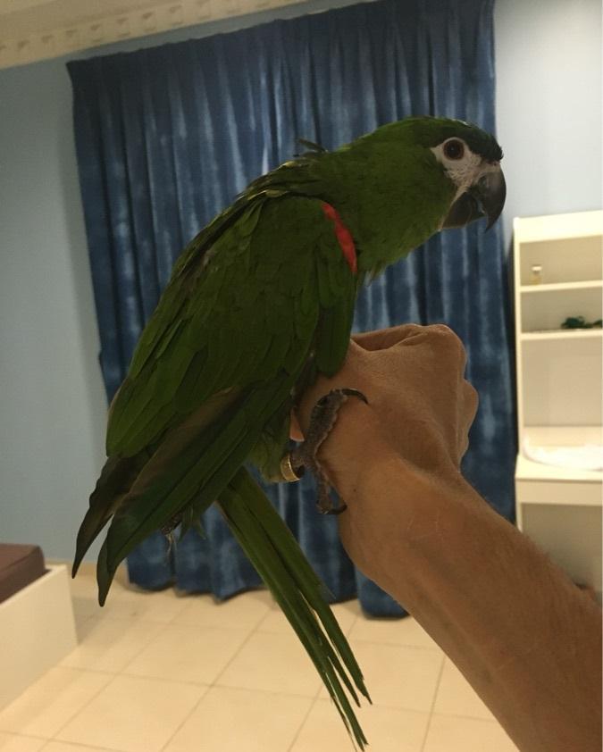 نوعين مكاو للبيع من اجمل الطيور  249741941