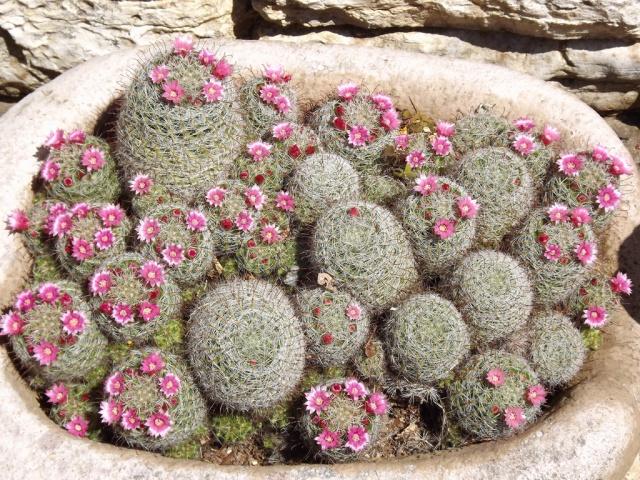 Le panier du jour - 7 - Page 5 250123mammillariaprolifera