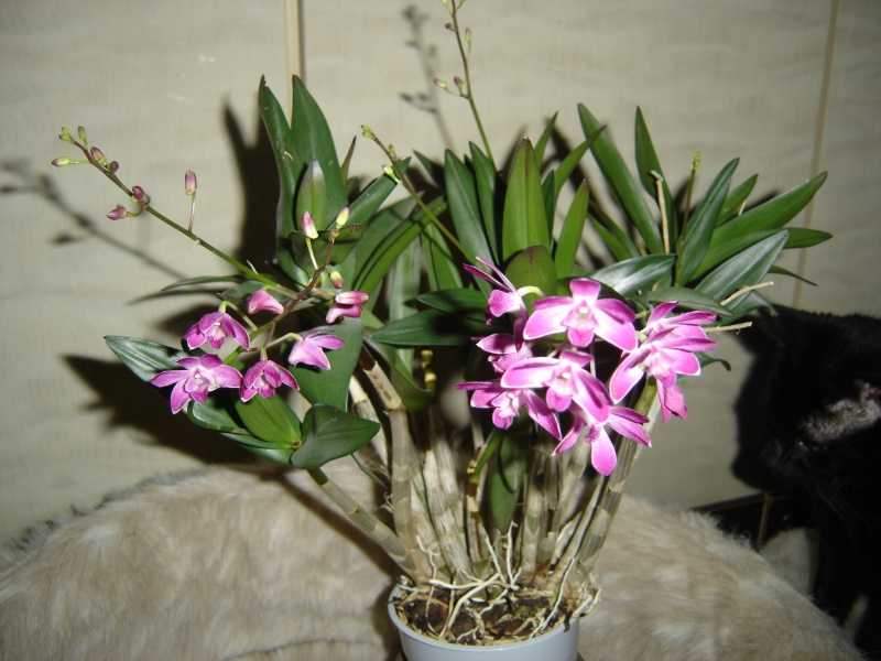 Dendrobium kingianum alias le bougre d'âne... - Page 3 256182DendrobiumBerryOda2dc2014009