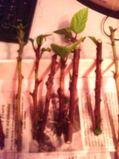 Mes hibiscus et moi...une longue histoire - Page 2 2598682JPG