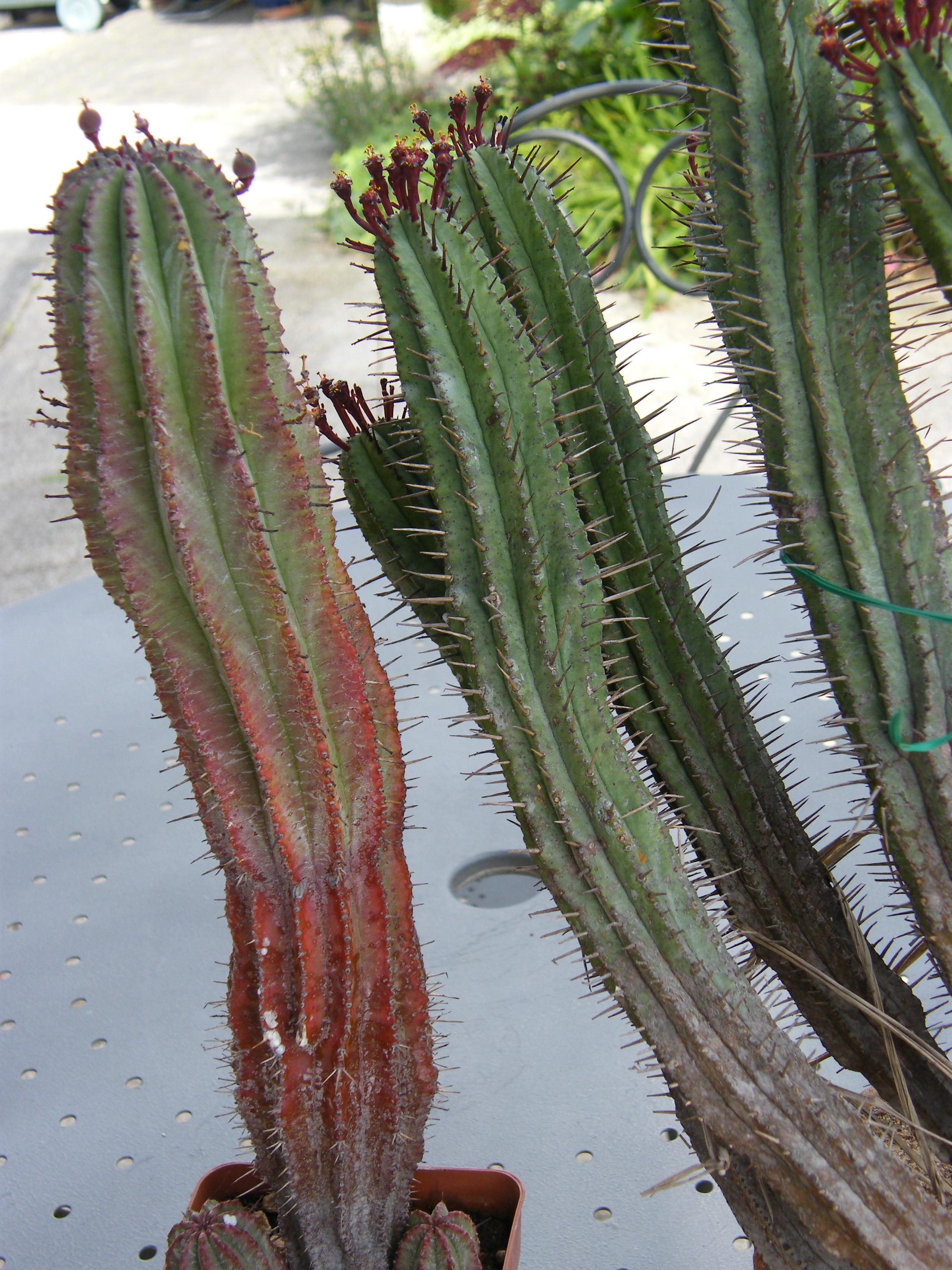 Euphorbia enopla 262495MAI2010908