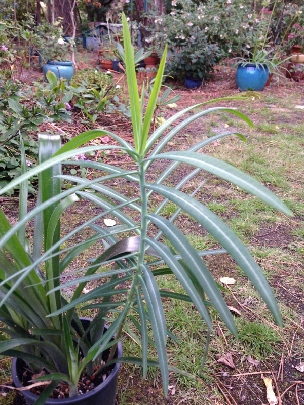 Euphorbia lathyris [identification] 265615IMG0825