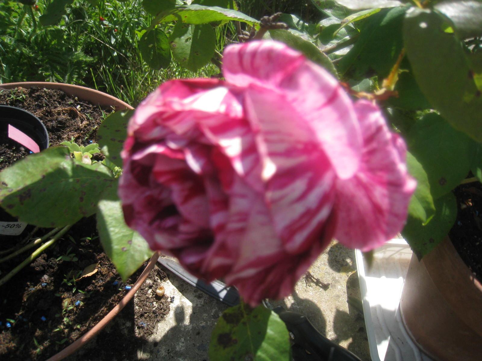 en fleurs chez moi - Page 2 276418008