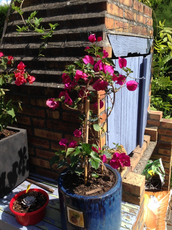 les bougainvilliers - Page 3 277411IMG6056