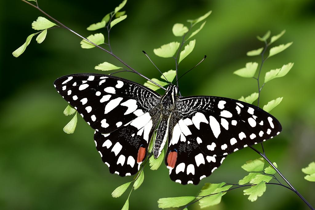 Papillon 278374papillon