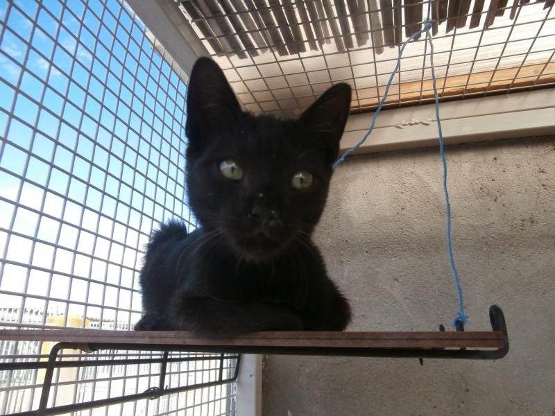 REGLISSE (chaton mâle noir) 286124P9171730