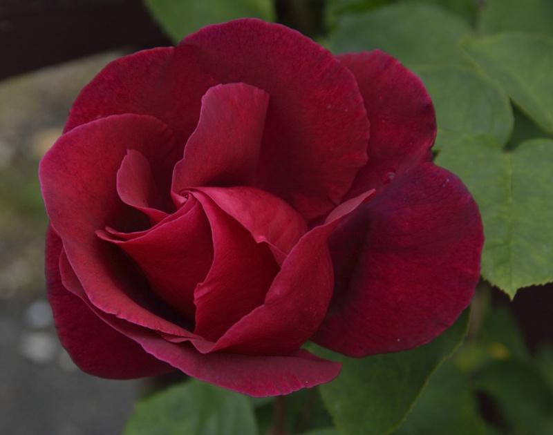 tous ces rosiers que l'on aime - floraisons - Page 2 286822roses4