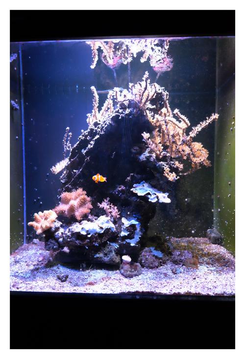 Vends aquarium récifal tout équipé + vivant 288376DSCF9728redim
