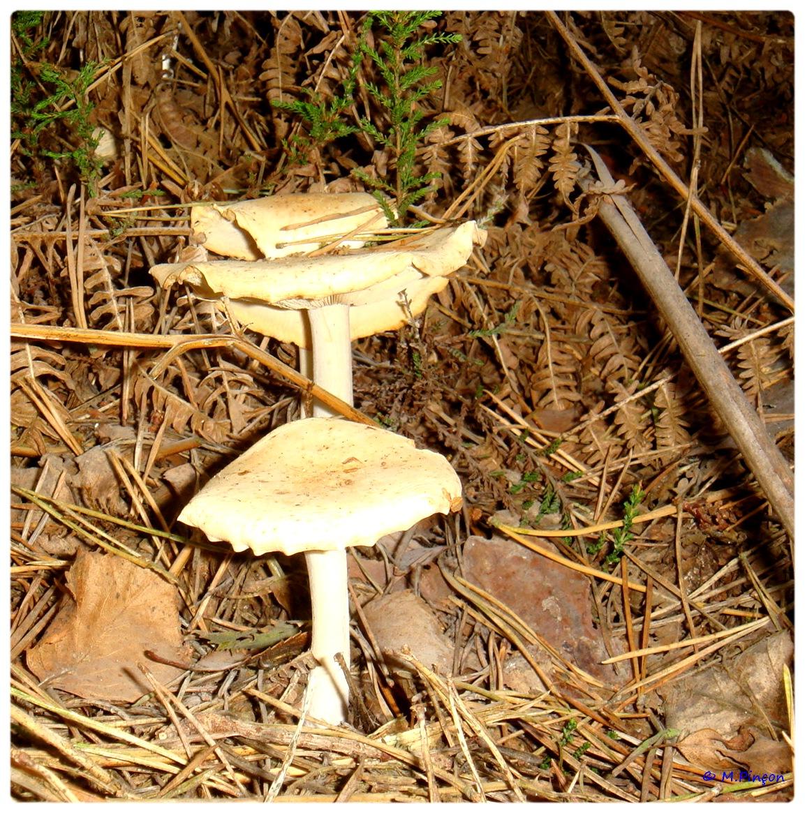 [fil ouvert] les champignons 295561DSC011163