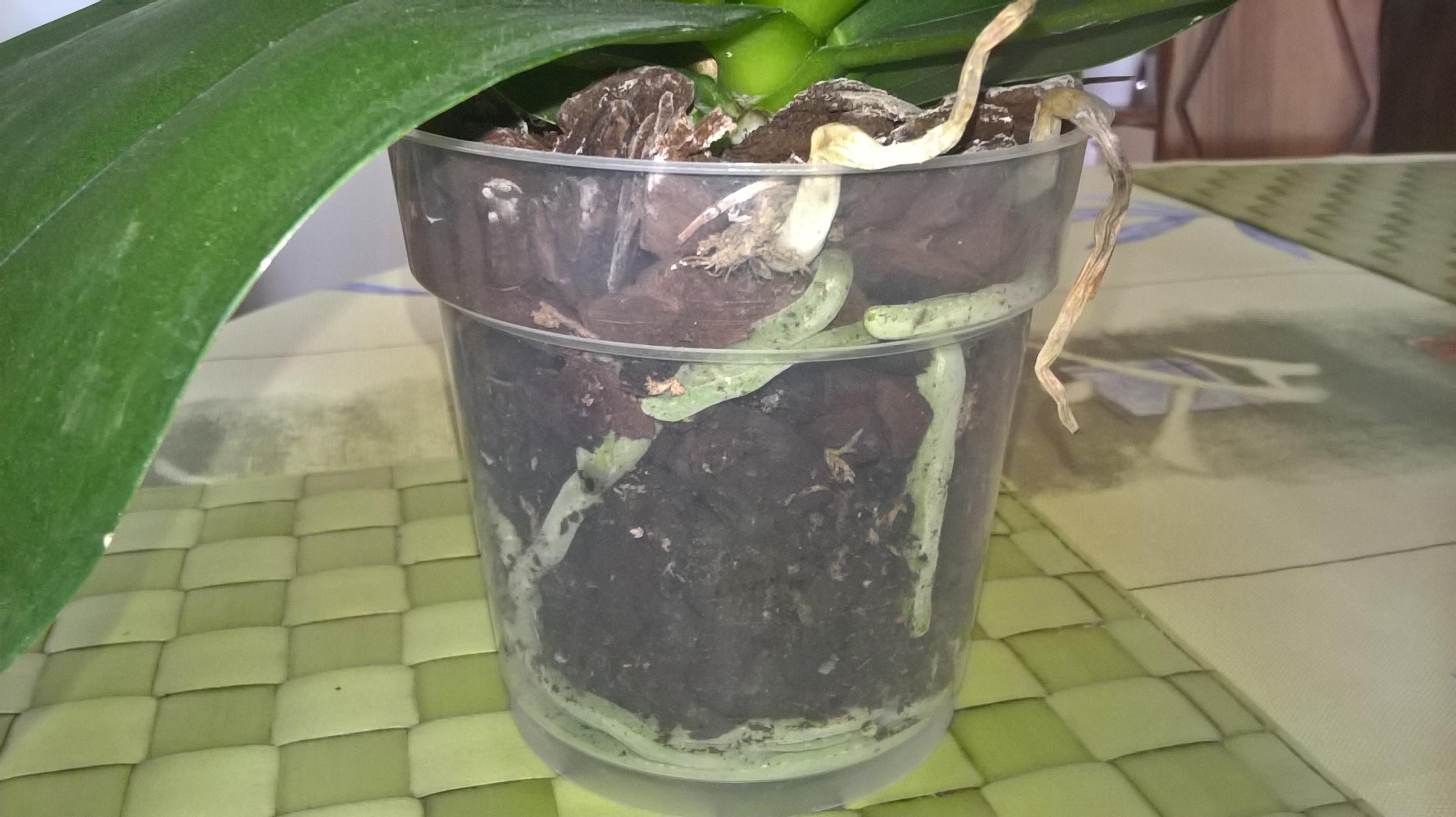 phalaenopsis défleuries  - Page 2 296801WP20160730112739Pro