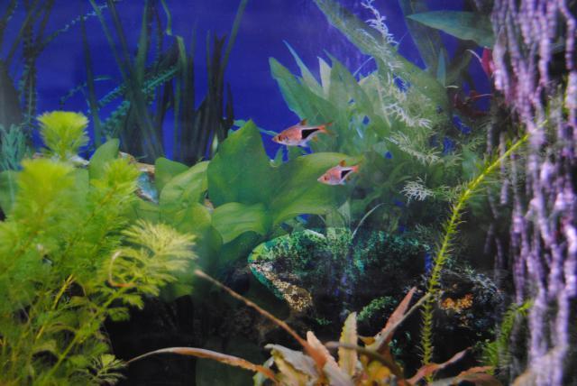 le nouvel aquarium de ma fille  300654DSC4929