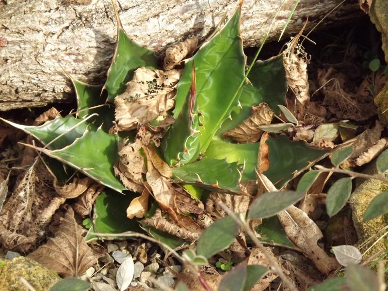 Agave montana  - Page 2 306453Agavemontana2