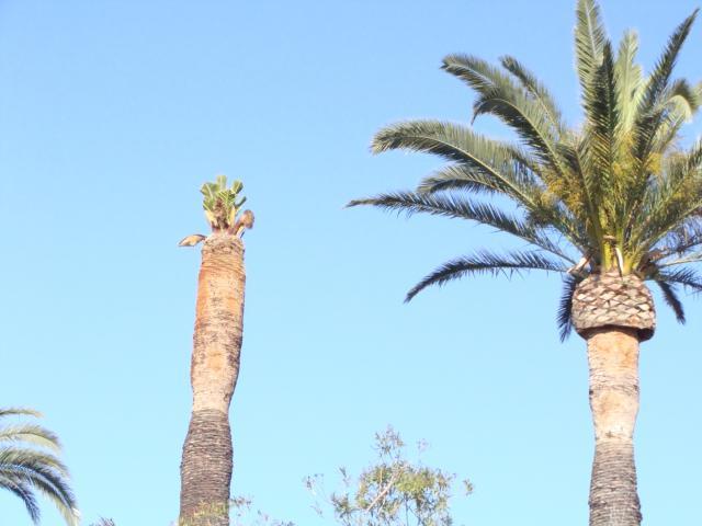 palmier, après le desespoir, un petit espoir.... 307319palmier011