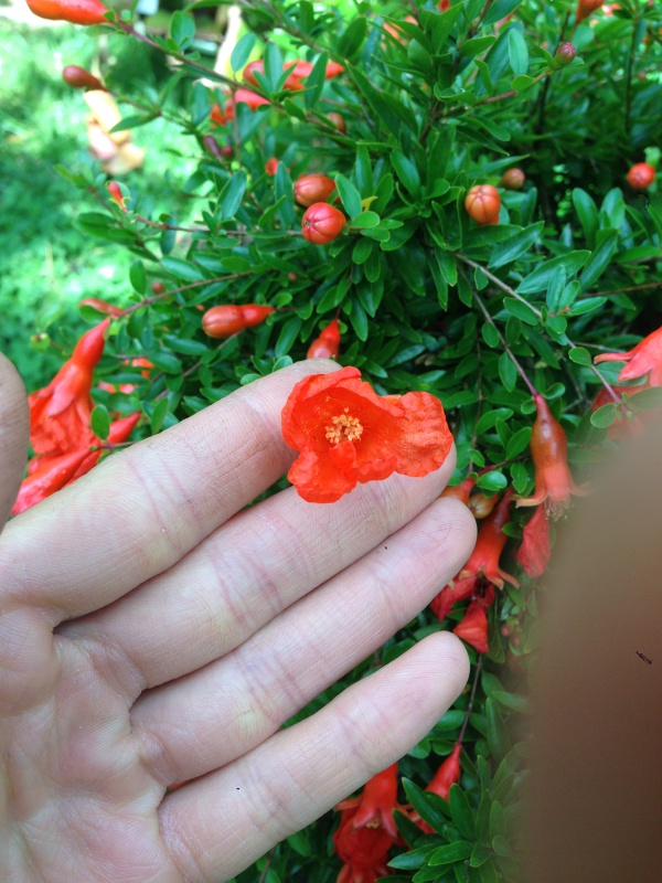 grenadier bonsai 308837IMG6085