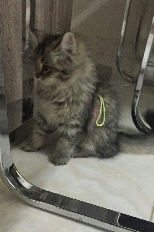 قطة شيرازي بيور للبيع 309473922