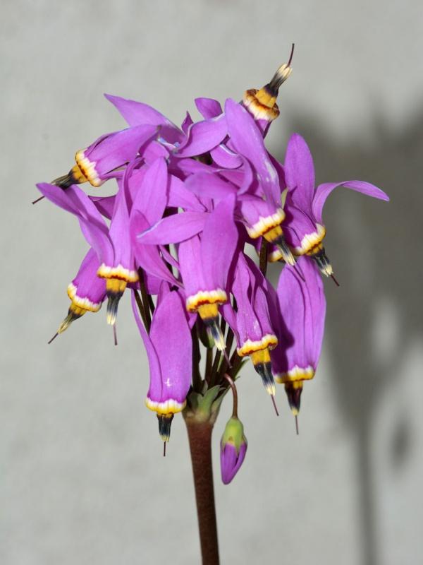 Dodecatheon meadia - gyroselle de Virginie 313751DSC5283