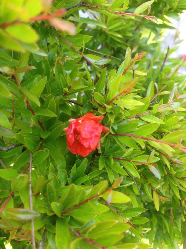 grenadier bonsai 316685IMG5811