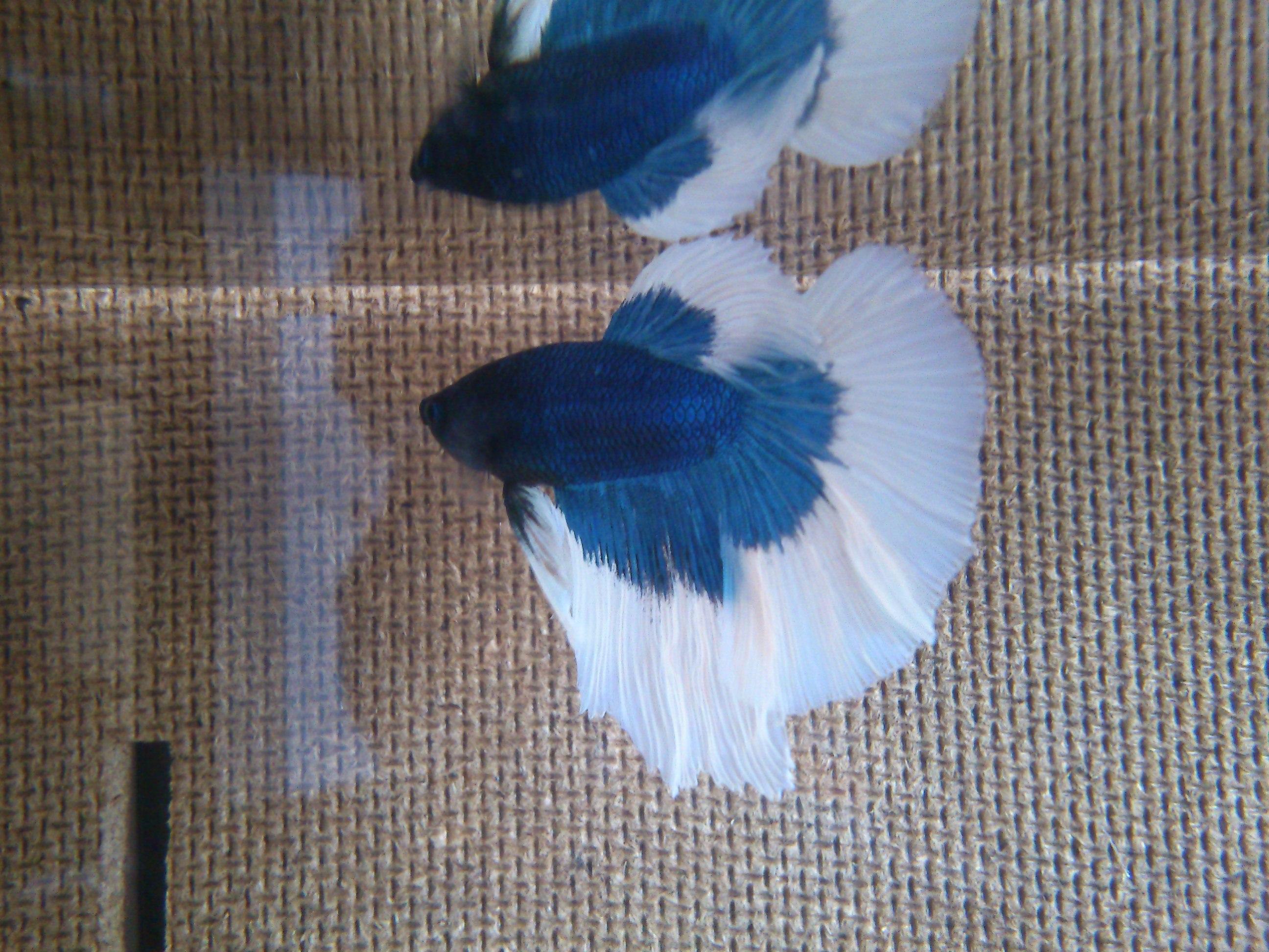 Mon nouveau Betta bleu et blanc 322873DSC0527