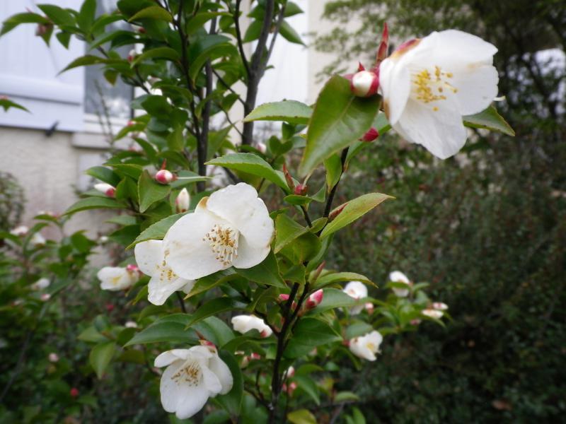 Quelques floraisons 326339CamelliaIMGP1237