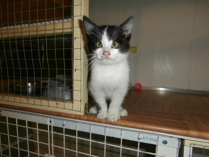 MICROBE(chaton européen noir et blanc) 330314P1212057