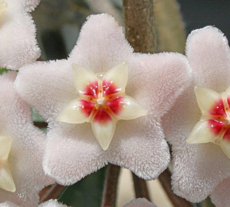 Hoya carnosa 330817hoyacarnosadtail2