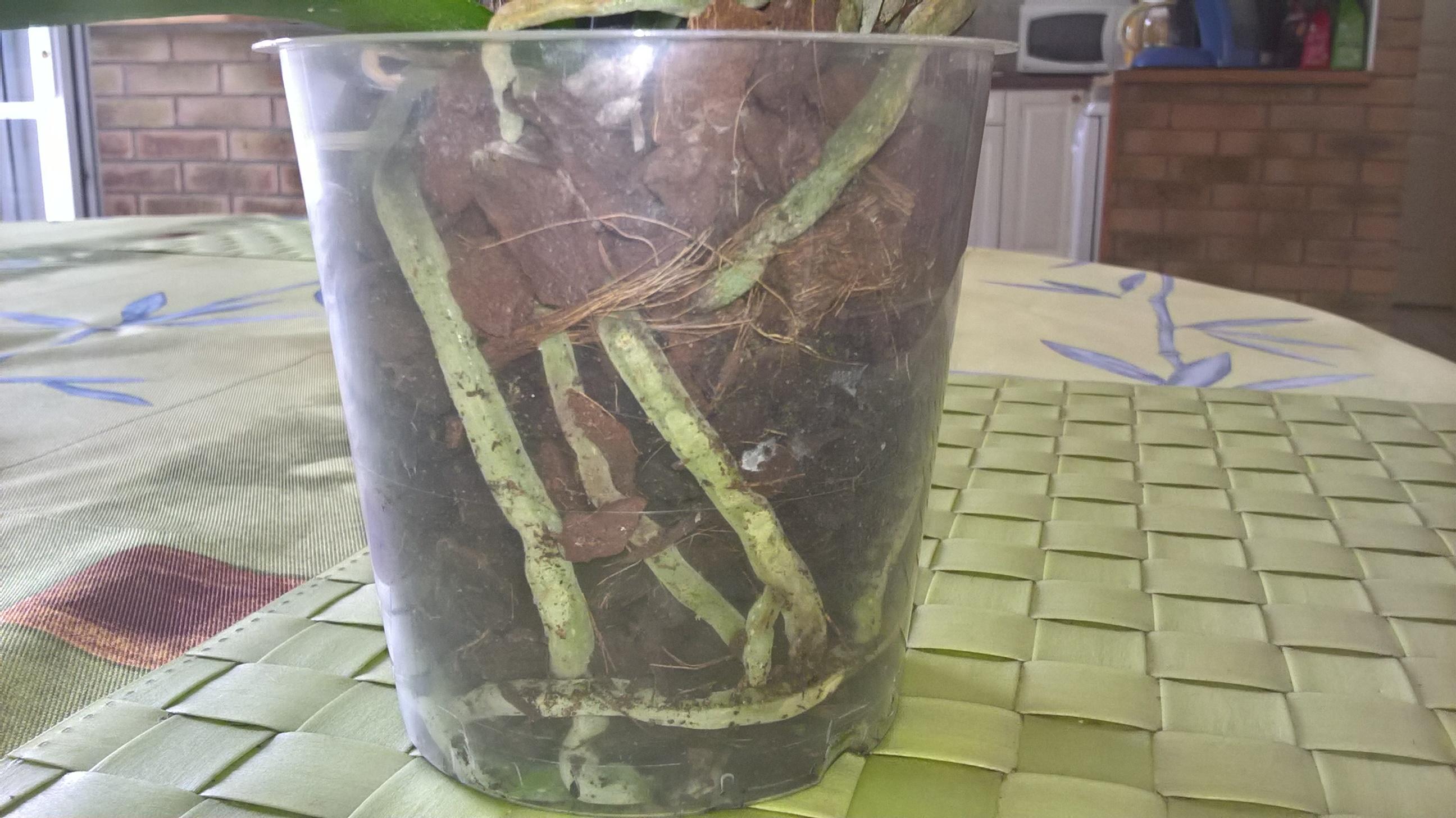 phalaenopsis défleuries  - Page 2 335519WP20160730113032Pro