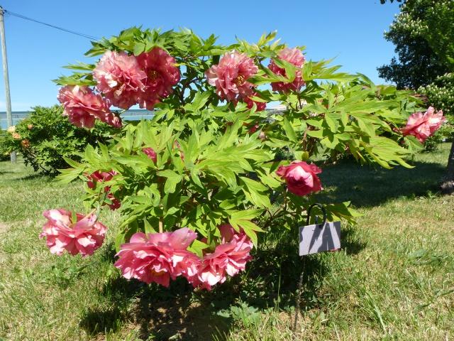 Paeonia - pivoines herbacées - Page 4 346913P1050330