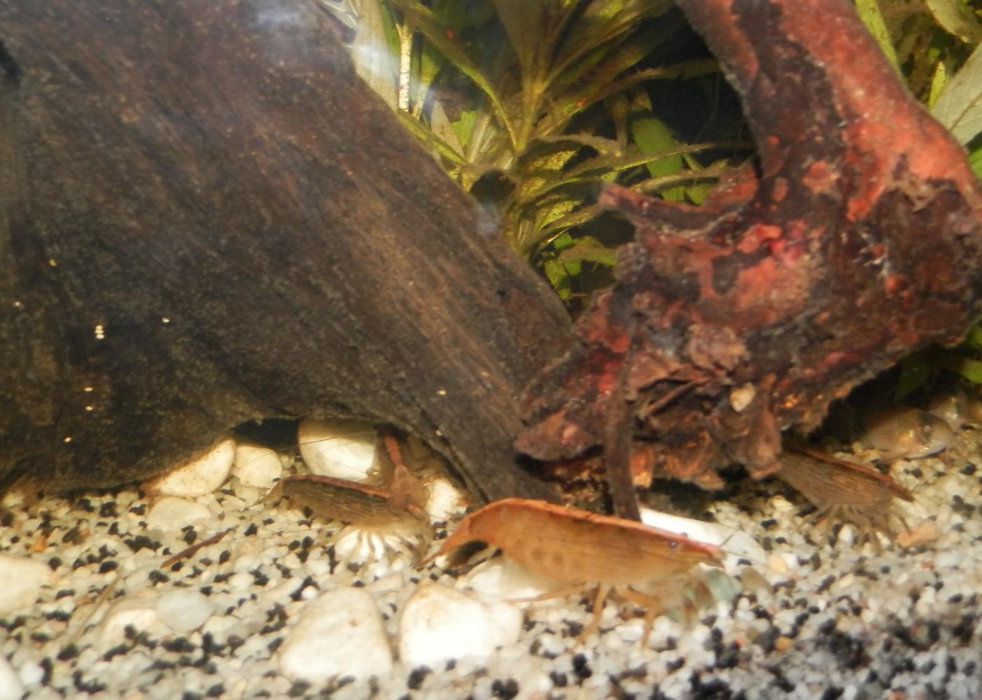 [Présentation] Tous les trous mènent aux crevettes Bambou 3529114834