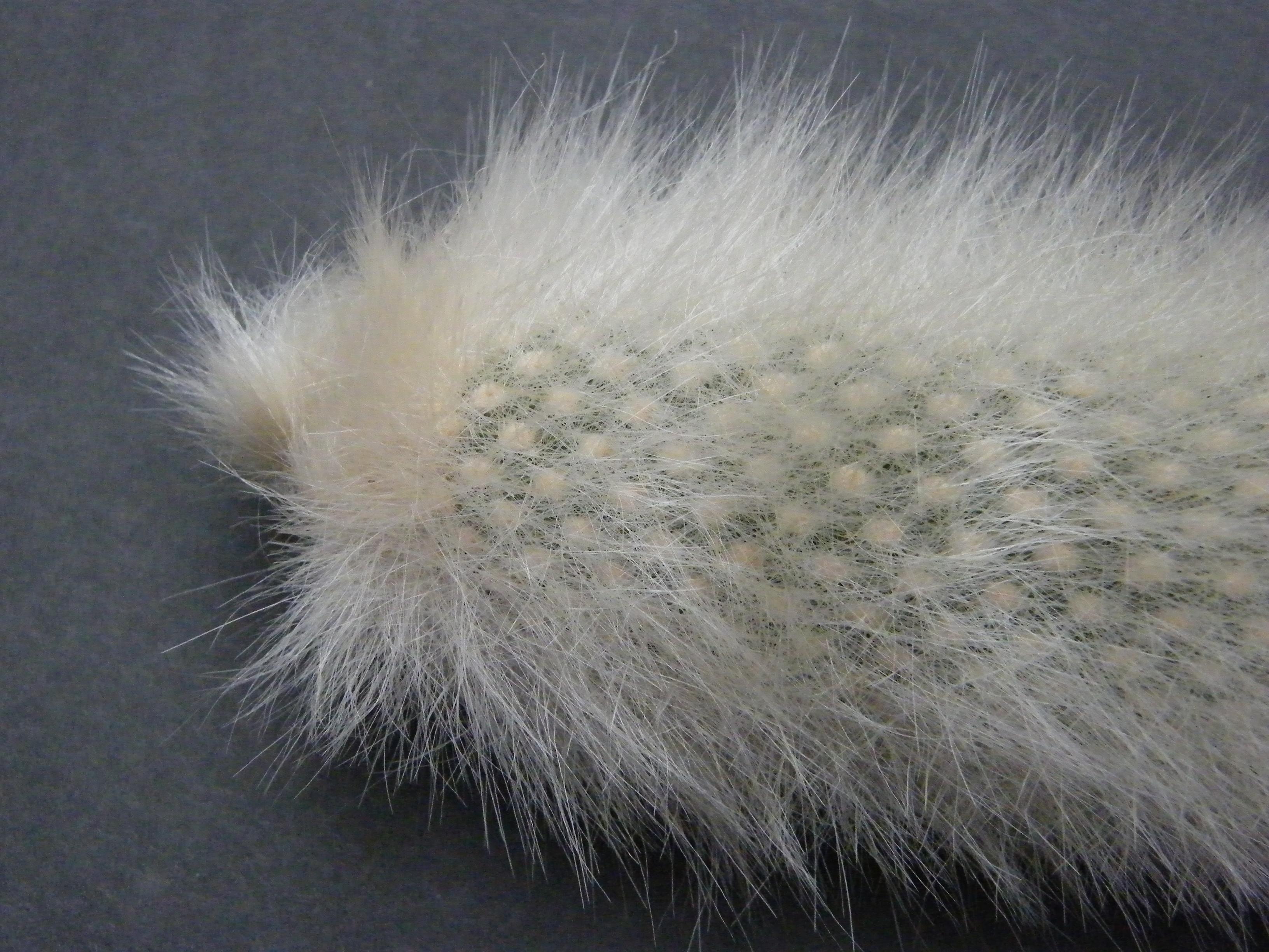 Cleistocactus winteri ssp colademononis 354015Nov20101095