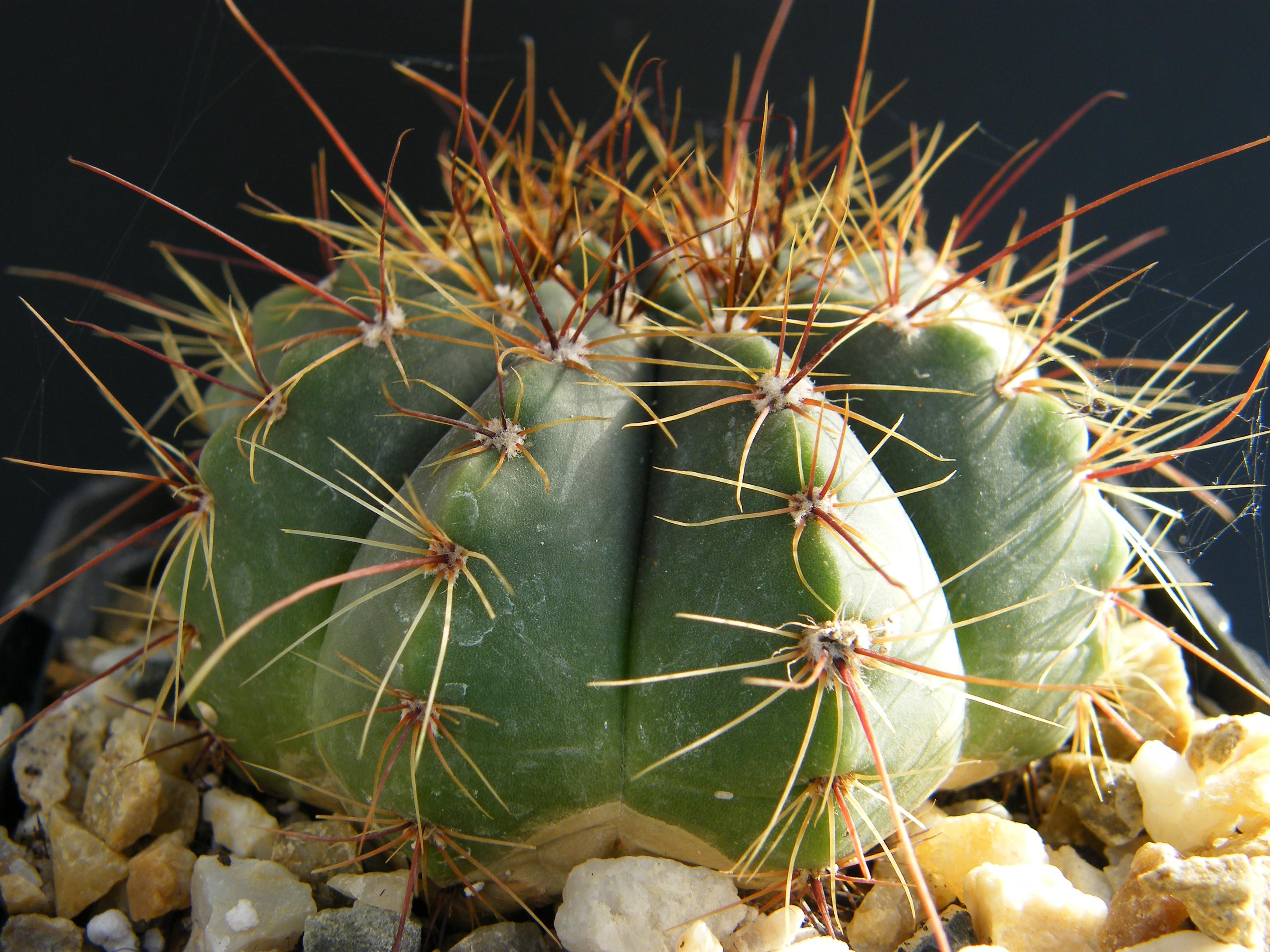 MAMMI    QUI  ? ( Notocactus ottonis ) 355736Oct2011368
