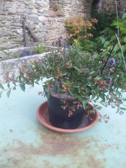 lagerstroemia ou lilas des Indes - Page 2 35945220160905080532