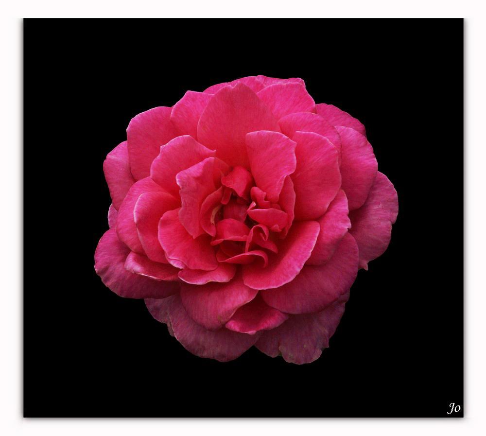 Une autre rose de mon jardin 368254DSC4784jx