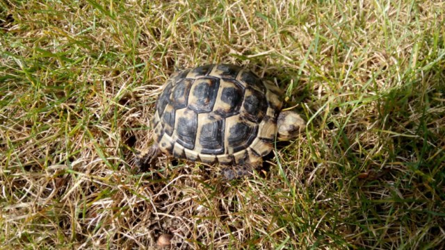 Ma tortue hermann ne mange pas depuis 1 semaine  371818tortue640x4802
