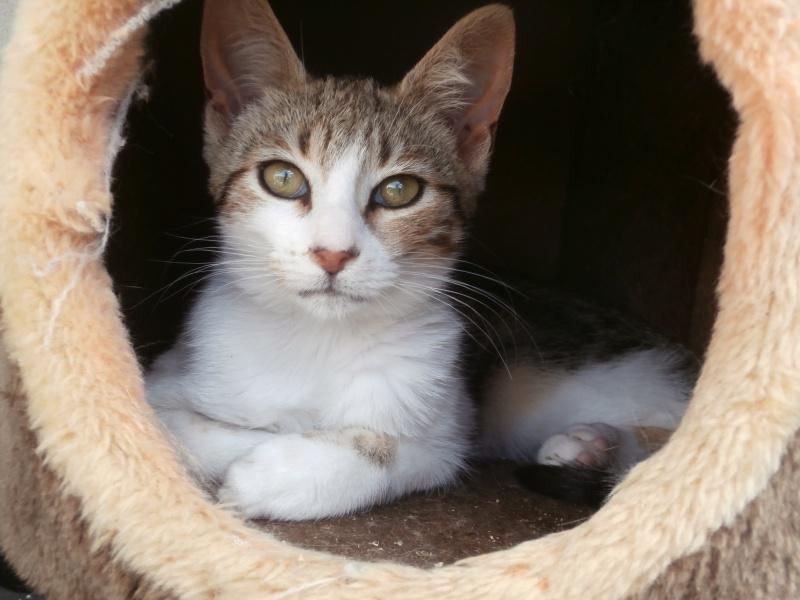 DUNE (chaton femelle tigrée et blanche) 380549P9171724