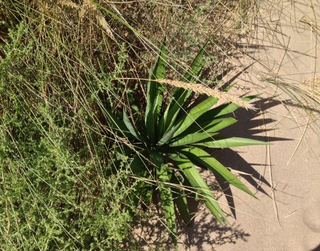 flore du littoral : plages, dunes, vases et rochers maritimes 382629yucca1
