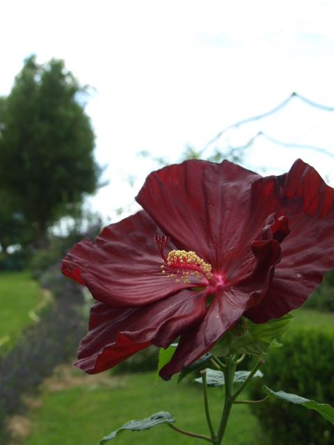 hibiscus a fleur géante:Hibiscus moscheutos cv disco - Page 11 399819P8072241