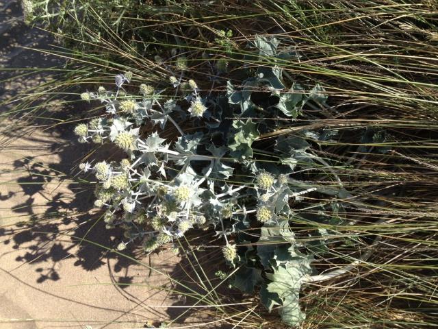 flore du littoral : plages, dunes, vases et rochers maritimes 400743chardondune2