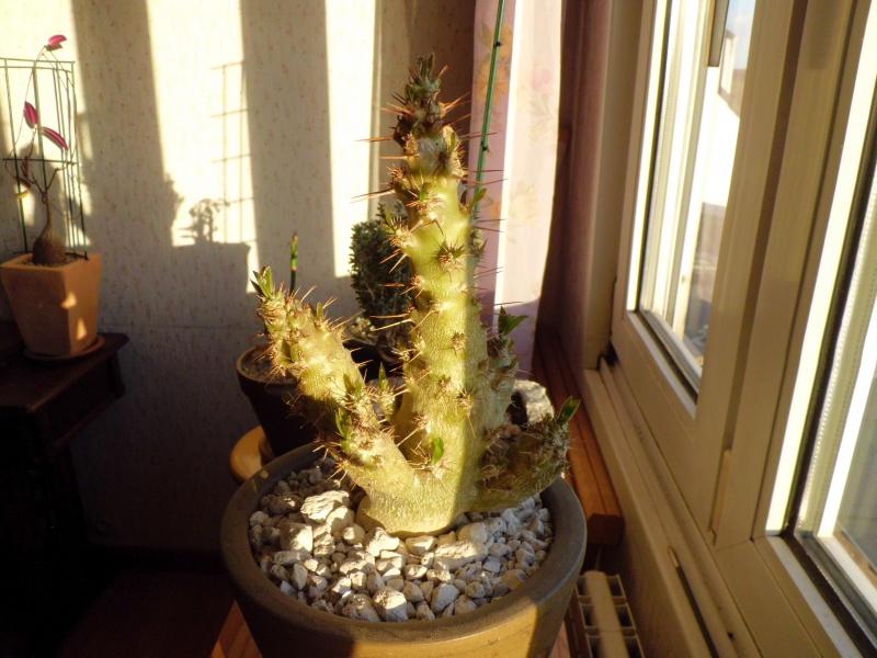 Pachypodium saundersii - Page 2 405991CIMG4519