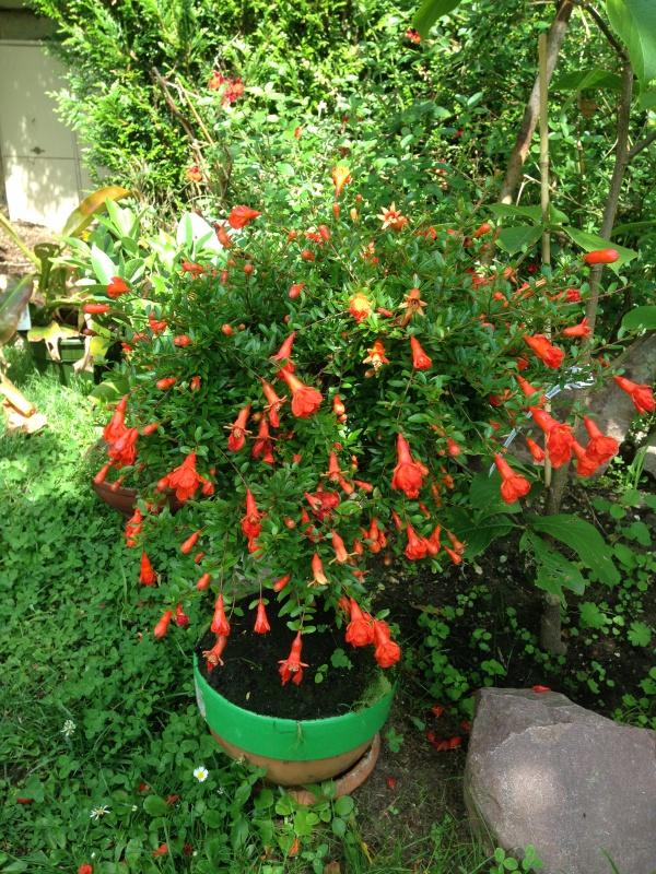 grenadier bonsai 420951IMG6084