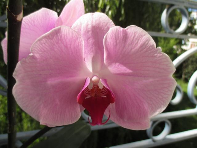 Phalaenopsis hybride 424009IMG8542
