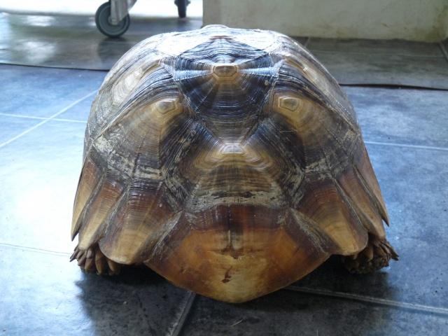 identification mâle sulcata 424972P1080354