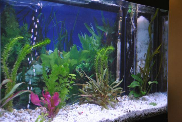 le nouvel aquarium de ma fille  433554DSC4668