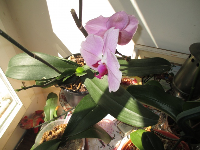 Phalaenopsis hybride 438394IMG8543