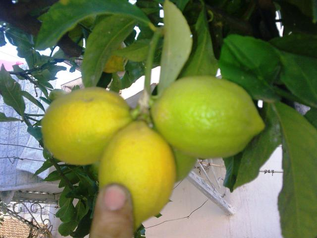 Le citronnier ( citrus limonum ) 440781Photo002jpg